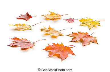 Collection of multicolored lying autumn maple leaves isolated on a white background.