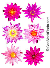 Collection of pink water lily