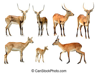 collection of red lechwe isolated