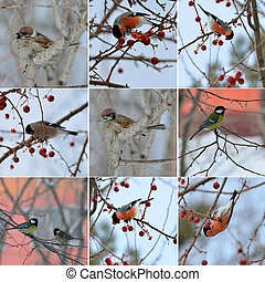 collection of small birds in winter time. sparrow, titmouse, bullfinch