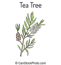 Collection of tea tree. Cosmetics and medical plant. hand...