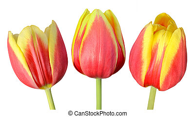 Collection of Three Tulip Flowers Isolated on White