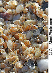 collection of tiny telline shells on the Sea Beach
