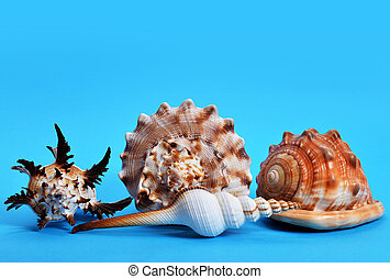 Collection of tropical conch shells isolated on blue background.