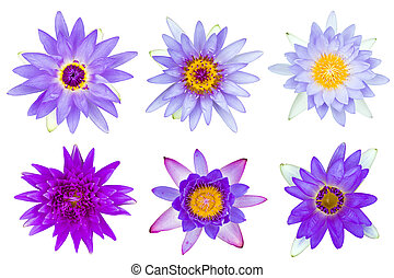 Collection of violet and purple water lily isolated