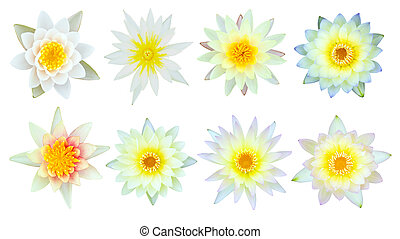 Collection of white and yellow water lily