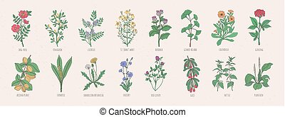 Collection of wild meadow herbs, blooming flowers and tropical plants with edible berries hand drawn in vintage style and isolated on white background. Detailed botanical vector illustration.