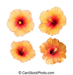 collection of yellow hibiscus isolated on white background