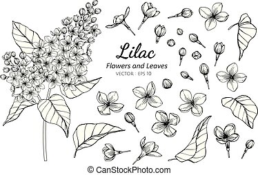 Collection set of lilac flower and leaves drawing illustration.