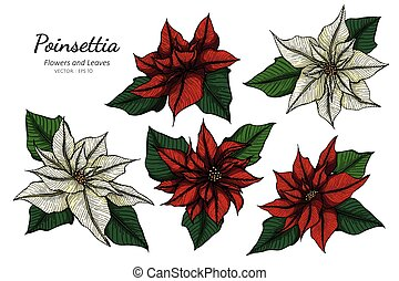 Collection set of poinsettia flower and leaves drawing illustration.