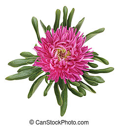 Collections of Pink China aster Isolated on white background