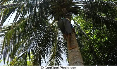 Collector of coconuts climbing on a palm tree. - Man...