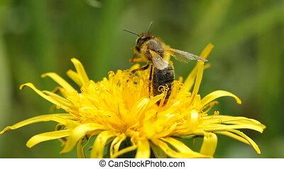 collects, нектар, пчела