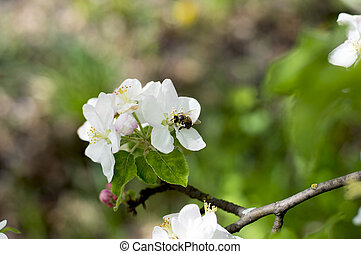 collects, fleurs, apple-tree, nectar, abeille
