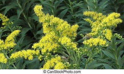 collects, insect, цветок, нектар, желтый