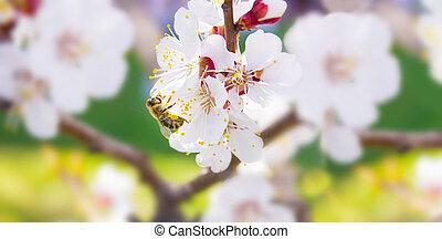 collects, panorama., cerise, espace, (pollen), fond, nature., fleurs blanches, spring., abeille, text., fleurir, nectar, brouillé