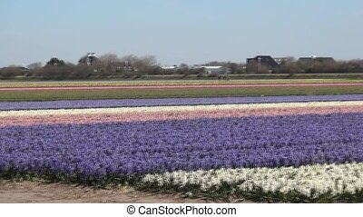 Collered Hyacinths on the fields (Holland) - Hyacinthaceae...