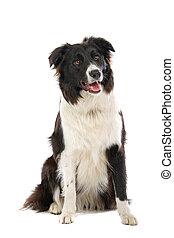 colley frontière, blanc, chien noir