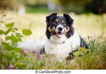 colley, frontière, chien, heureux