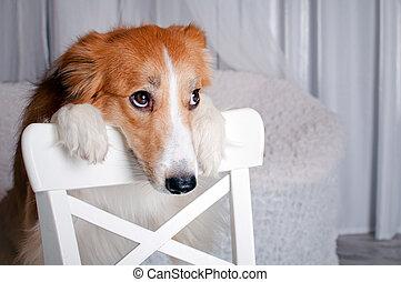 colley frontière, chien, portrait, dans, studio