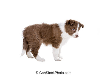 colley frontière, chiot, chien, devant, a, fond blanc