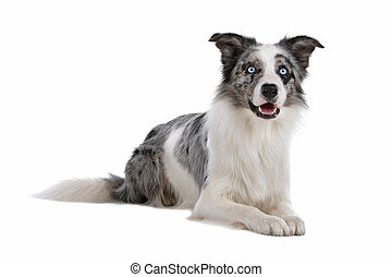 colley, frontière, sheepdog