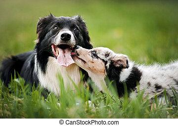 collie, alter hund, junger hund, umrandungen, spielende