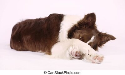 Collie border dog closing her face with paws - Collie border...