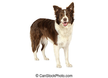 Collie border dog looking at the camera