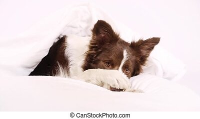 Collie border dog lying in a bed - Collie border dog, three...