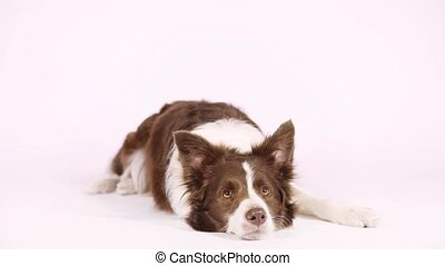 Collie border dog lying in front of white background -...