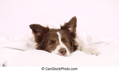 Collie border dog lying on a bed under blanket - Adorable...