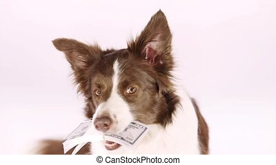 Collie border dog with the stack of bills fifty dollars  in her teeth