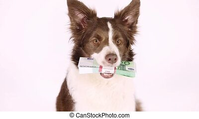 Collie border dog with the stack of bills one hundred Euro  in her teeth