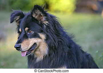 Collie cross dog