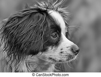 Collie Cross dog portrait
