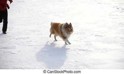 Collie dog and black labrador running with girl - Collie dog...