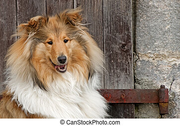 Collie dog -  collie dog