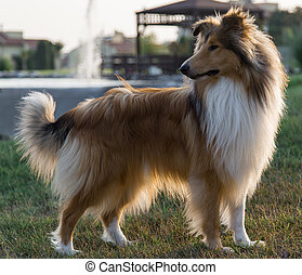 Collie dog in park