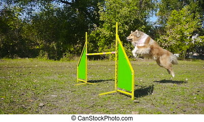 collie dog jumping at barrier on agility training at the...