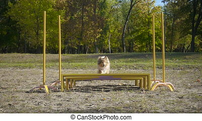 collie dog jumping at obstacle on agility training at the...