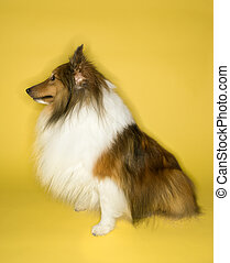 Collie dog on yellow background. - Collie dog.