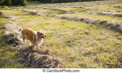 Collie dog running on green field at sunlight, slow motion