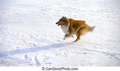 Collie dog running on snow field