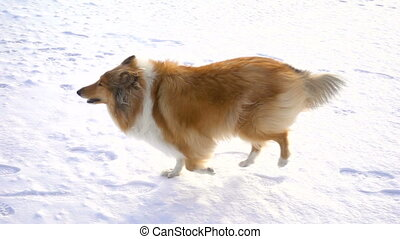 Collie dog running on snow field to girl in red coat