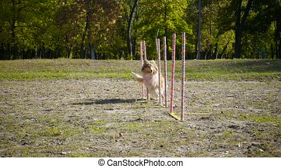 collie dog running slalom at agility training on the park -...