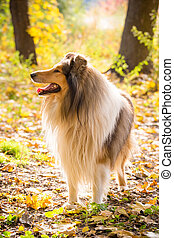 Collie dog standing on autumn forest