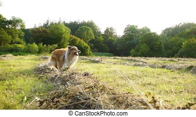 Collie dog training with adorable girl running on field -...
