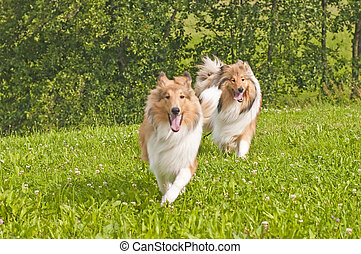 Collie dogs -  collie dogs