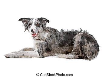 collie, gräns, hund